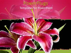 PowerPlugs: PowerPoint template with pink and white lily on black and pink background