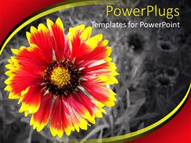 PowerPoint template displaying pretty red and yellow flower on a black and white background
