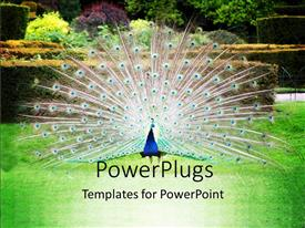 PowerPlugs: PowerPoint template with proud Peacock showing off in green field with beautiful flowers I'm background