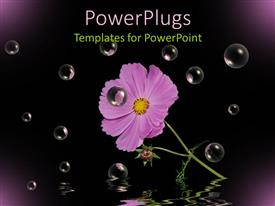 PowerPoint template displaying purple cosmos flower with stem and leaves, black background, bubbles, water reflection
