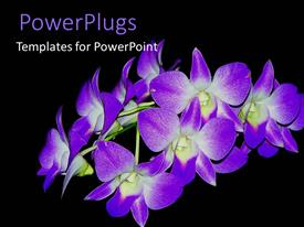 PowerPlugs: PowerPoint template with purple orchids in bloom on black background