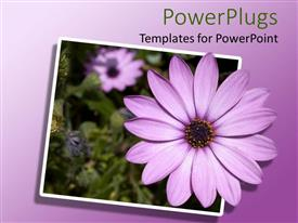 PowerPlugs: PowerPoint template with purple osteospermum African daisy flowers, green leaves, ombre background