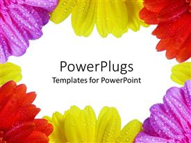 PowerPlugs: PowerPoint template with purple, yellow and red daisies with dew on them framing white background