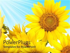 PowerPlugs: PowerPoint template with rays of light shining on large yellow flowers with blue background