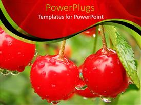 PowerPoint template displaying red ripe cherries with rain droplets dropping