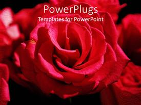 PowerPoint template displaying red Rose flower bouquet on black surface