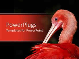 PowerPoint template displaying red scarlet ibis on a black and red colored background