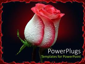 PowerPlugs: PowerPoint template with red and white rosebud with black background and red border