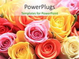 PowerPoint template displaying rose bouquet of different colors, red, yellow, pink, cream