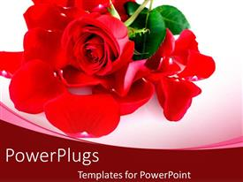 PowerPoint template displaying rose flower petals close up placed on white background