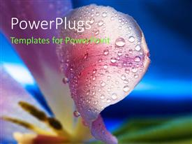 PowerPlugs: PowerPoint template with rose petals with dew drops and bluish background