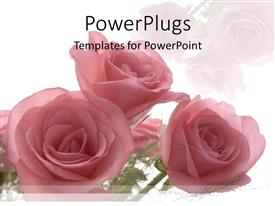 PowerPlugs: PowerPoint template with roses as a metaphor love weddings relationships mother celebrations on a white background