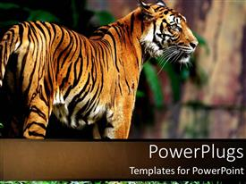 PowerPoint template displaying siberian tiger in jungle setting with serious look in the eyes