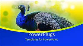 PowerPoint template displaying beautiful Peacock on abstract yellow  background