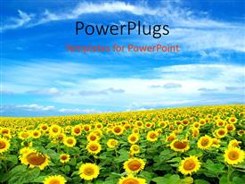PowerPlugs: PowerPoint template with a sunflower farm with clouds in the blue sky