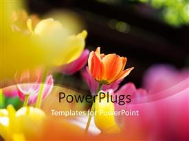 PowerPlugs: PowerPoint template with sunlight shinning over beautiful tulips flower on dark background