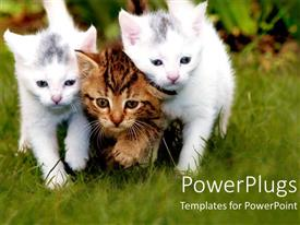 PowerPlugs: PowerPoint template with three beautiful kittens together with a green background