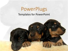 PowerPlugs: PowerPoint template with three cute black and brown puppies on fuzzy rug