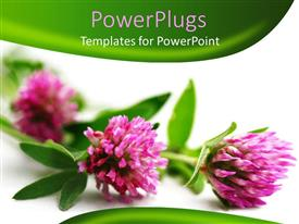 PowerPlugs: PowerPoint template with three pink flowers on a white and green background