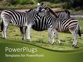 PowerPoint template displaying three zebras snuggling on African grassy plain