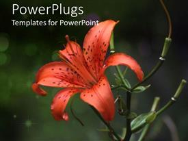 PowerPoint template displaying tiger lily flourishing on blurry background