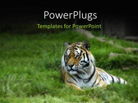 PowerPoint template displaying a tiger lying calmly of an open green grass field