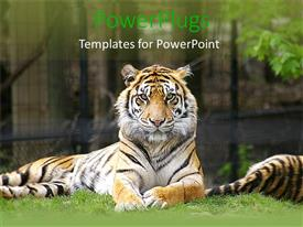 PowerPoint template displaying tiger lying on grass and looking on in zoo