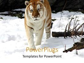 PowerPoint template displaying a tiger walking on the ice