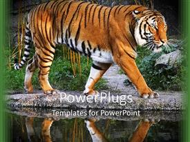 PowerPoint template displaying tiger walking on a stony path beside a lake