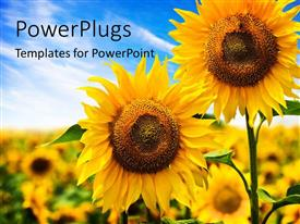 PowerPlugs: PowerPoint template with two beautiful sunflowers with others on a blurry background