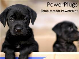 PowerPlugs: PowerPoint template with two black puppies, one sad face puppy looking at the camera and one puppy fading into background