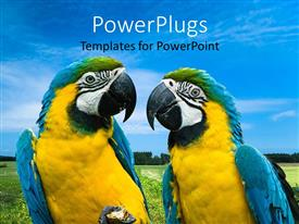 PowerPlugs: PowerPoint template with two blue, yellow green macaw parrots looking at each other, grass  and sky landscape background
