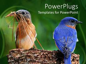PowerPlugs: PowerPoint template with two colorful birds on a piece of wood gathering nesting twigs