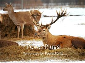PowerPoint template displaying two deer lying on a floor filled with hay