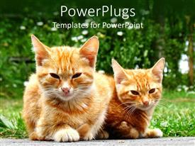PowerPoint template displaying two fluffy brown and white cats lying on grass