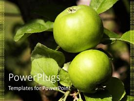 PowerPoint template displaying two fresh big green apples and their leaves