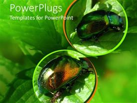 PowerPlugs: PowerPoint template with two Japanese beetles on green leaves with green background