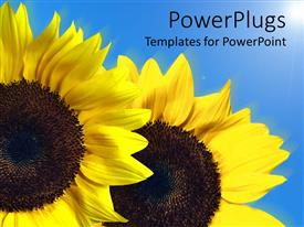PowerPlugs: PowerPoint template with two large yellow sun flowers on a blue background