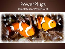 PowerPlugs: PowerPoint template with two orange clown fishes swimming in between tentacles on a brown background