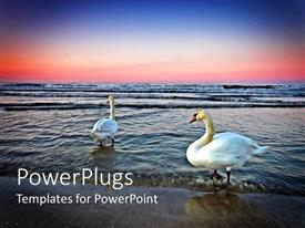PowerPoint template displaying two swans on beach at sunset