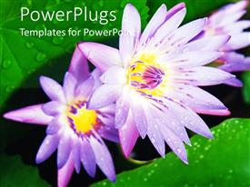 PowerPlugs: PowerPoint template with two water lilies together with green background