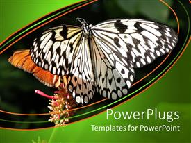 PowerPoint template displaying two white and orange colored butterfly in a natural habitat