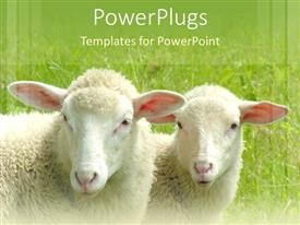 PowerPlugs: PowerPoint template with two white sheep on a field with green grass