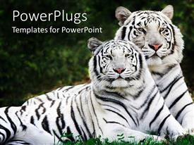 PowerPoint template displaying two white tigers laying in the grass