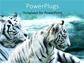 PowerPoint template displaying two white tigers lying down together on an open grass