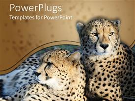 PowerPlugs: PowerPoint template with two wild cats cheetah cats resting together on the ground