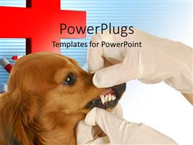 PowerPlugs: PowerPoint template with veterinary doctor examining teeth of Dachsund with capsules and red cross