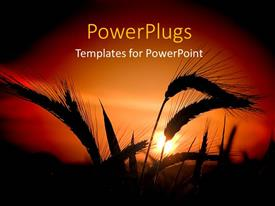 PowerPlugs: PowerPoint template with a wheat field along with a sunset