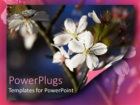 PowerPoint template displaying white apple blossoms on branch, flowers