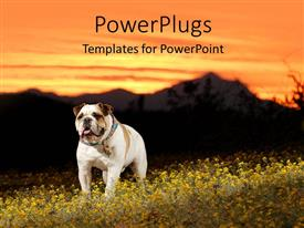 PowerPoint template displaying a white bull dog standing on a grass filed